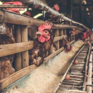 12/08/2021 - Cenário da avicultura de postura