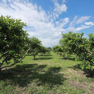 Rehabilitación y renovación de huertos en plantaciones de guayaba