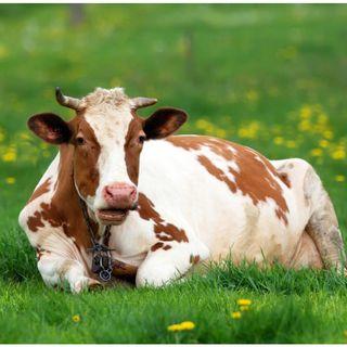 Il Saggio e la Vacca