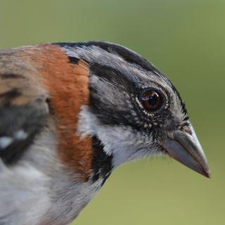 Copetón (Zonotrichia capensis)
