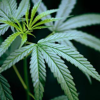 Marijuana 101: Everything you should know about THC, CBD & the Black community