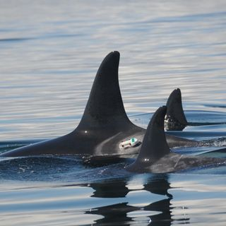 Podcast: Gillnet controversy, Puget Sound water quality, orcas underwater http://earthfix.us/pod0907