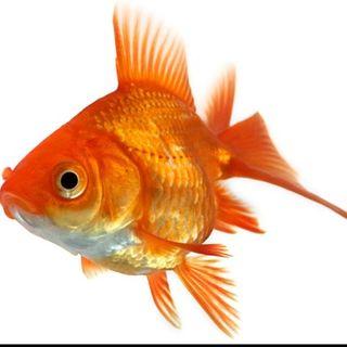 #ve Pesce rosso