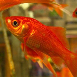 Il Pesce Rosso ha una Scarsa Memoria? - Etologia & Ecologia