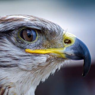 Il falco che non voleva volare - PsicoStorie