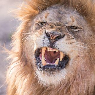 Il leone e il cinghiale