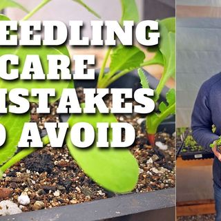 3 Mistakes to Avoid When Caring For Your Seedlings - DIY Garden Minute Ep. 186