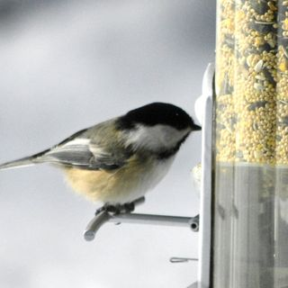 Black-Capped Chickadees! (Part 2)
