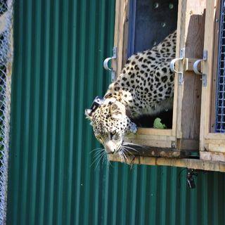 Tras la pista del la reintroducción del leopardo persa del Caucaso, con Andrés Peredo | Oikos #27