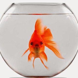 #srn In compagnia del pesce rosso!