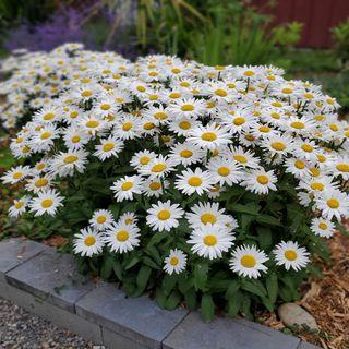 6 Shasta Daisy Companion Plants - DIY Garden Minute Ep.207