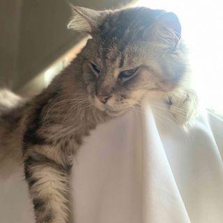 Romeo, el primer gato con marcapasos en Colombia