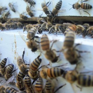 The Beehooligans S.2, Ep. 5
