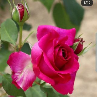 Qualcuno scompiglia queste rose - G Garcia Marquez