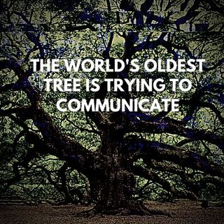 The World's Oldest Tree Is Trying To Communicate Pt 1