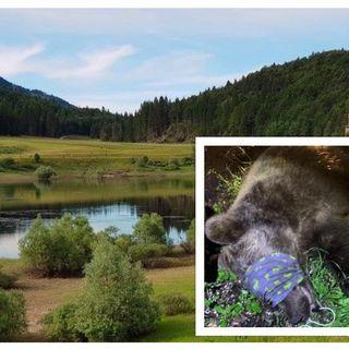 Orso di 120 kg azzanna un 24enne sulle rive del lago. Il ferito è un carabiniere di Schio