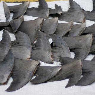 Pinne di squalo, ecco come entrano illegalmente in Cina