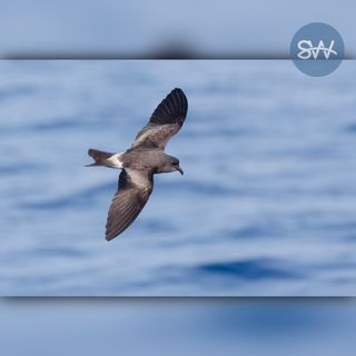 Audiomoth recording of Leach's Storm Petrels