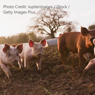 Calling All Pork People: ASF, Retail Demand, Exports, and more