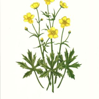 Show 31:  The Buttercup Family of herbs