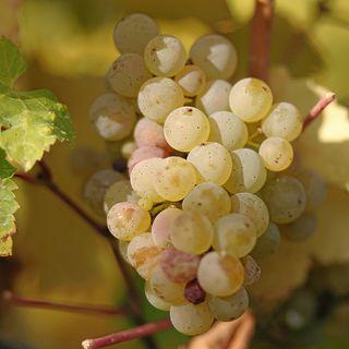 Ep 087: The Grape Miniseries: Discovering Riesling w Expert Stuart Piggott