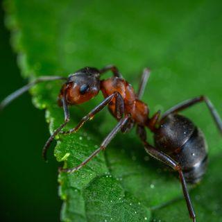 La cicala e formica