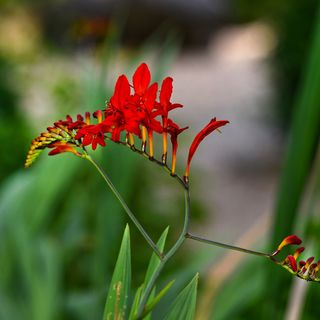 DIY GM Ep92 Crocosmia Care - A Mini Plant Profile