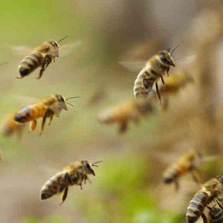 NUESTRO OXÍGENO Curiosidades de las abejas - Juan Carlos Gómez