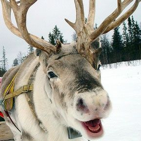 Mark Hardy, reindeer and Christmas trees