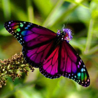 Come le ali di farfalla diventano un capolavoro