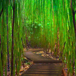 El Bambú Japones nos da una lección de éxito