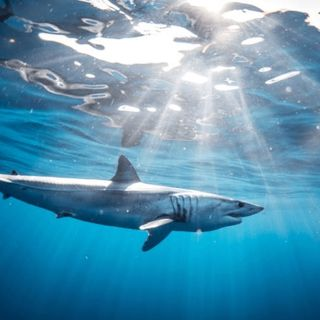 la extinguicion del tiburon mako