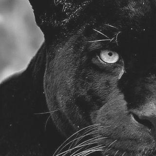 L'Invasione Della Pantera - Zoologia & Curiosità