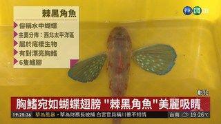 """19:43 會游又會走! 彰濱外海發現""""水中蝴蝶"""" ( 2018-12-08 )"""