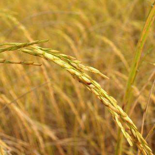 18/08/2021 - Cenário do arroz