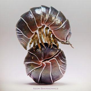 29 - Qual è l'amore più duraturo del mondo animale?  Un amore Crostaceo! Gli Isopodi - Zoologia