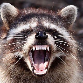 Raccoon Blamed For Loud Noises At Saugus Trash-To-Energy Plant