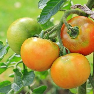 Flowering Tomato