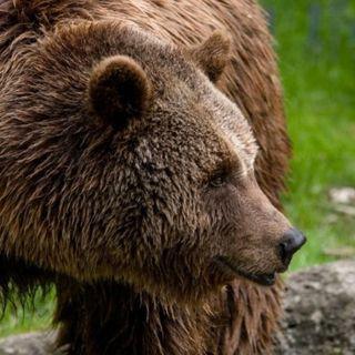 """L'orso """"bussa"""" ai rifugi Fraccaroli e Scalorbi sul Carega"""