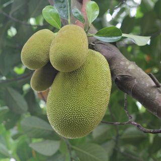 Jackfruit Edition