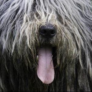 Il PASTORE BERGAMASCO, cane di spessore.