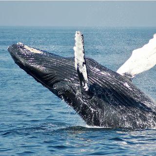 41 - Come Fa Una Balena A Riprodursi In Mare Aperto? Quali sono le rotte Migratorie? - Biologia Marina