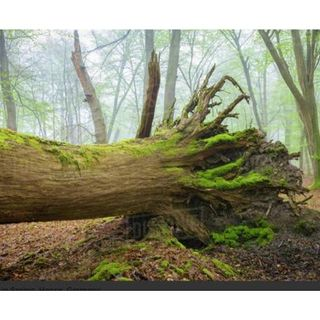Ancestry: A Tree With Shallow Roots