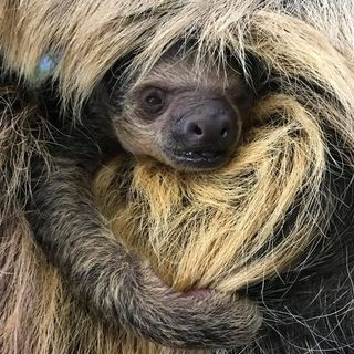 Meet Stone Zoo's New Baby Sloth