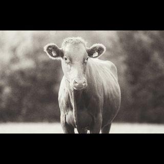 Edrada - cencerros, vacas y perro.