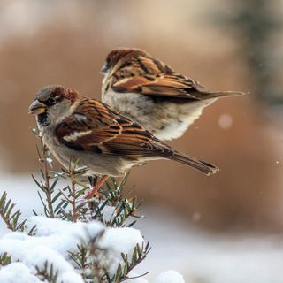 Tale of Two Sparrows