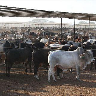 Aumento la exportación de ganado vacuno a EU