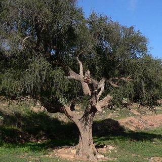 L'albero di Argan: proprietà e importanza per l'ecosistema