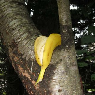 Episode 24:  Ole Miss Slips on a 'Racial' Banana Peel