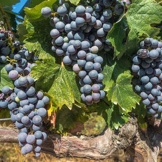 Api fra i filari le malattie calano il vino migliora